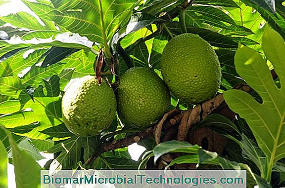 Breadfruit (Artocarpus Altilis) Or Crest
