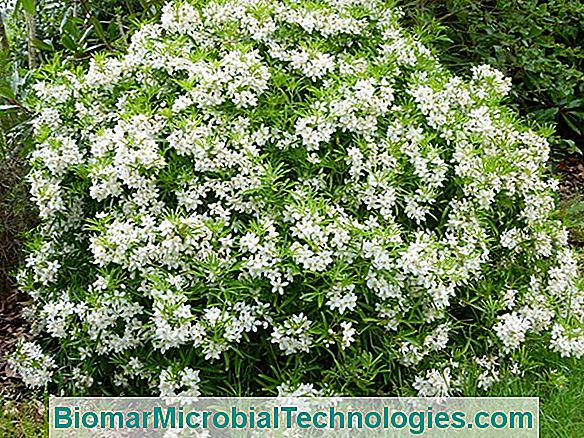 Choisya Aztec Pearl: Small Flowering Shrub