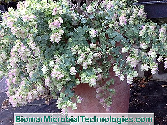 Origanum Rotundifolium: Kent Beauty Oregano