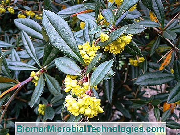 Berberis: Ideal In Der Defensiven Hecke