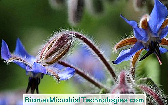 Borretsch (Borago Officinalis), Reich An Omega-6