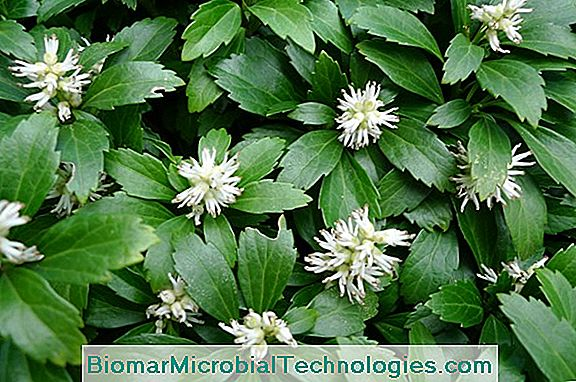 Japanese Pachysander (Pachysandra Terminalis) Shade Ground Cover