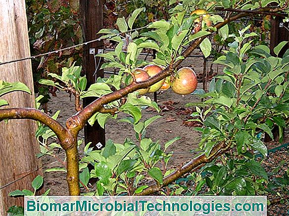 Apple Tree (Malus Spp.), The Essential Orchard Fruit
