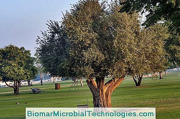 The Olive Tree (Olea Europaea), Emblematic Tree Of The Mediterranean Basin