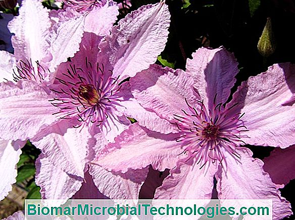 Size Of The Clematis: When And How?