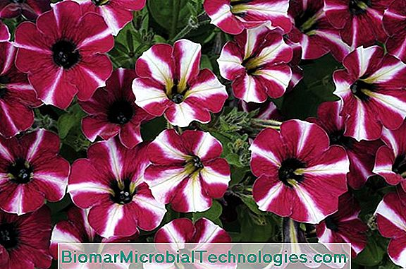 Petunia: It Is Timeless
