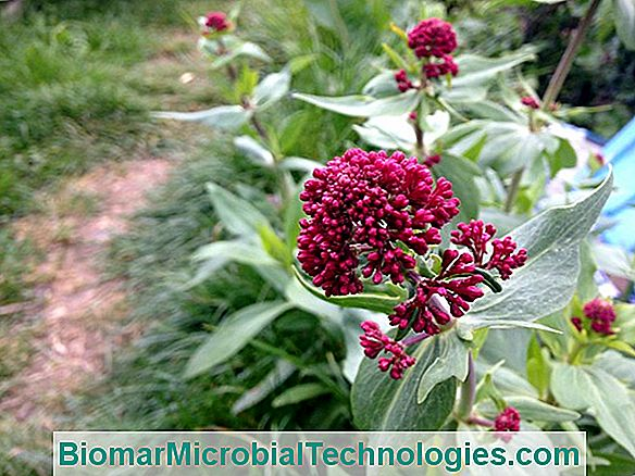 Valerian Red, The Valerian Of The Gardens
