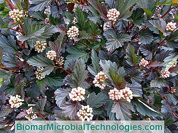 Cutting The Physocarpus