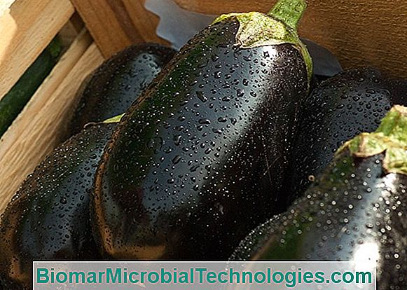 Planting Eggplants: When And How?