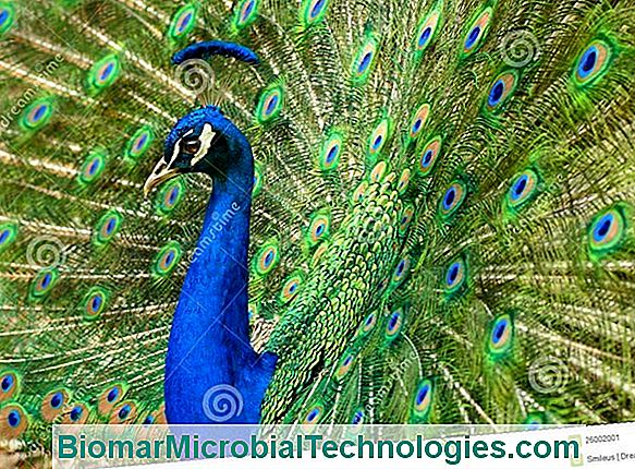 The Peacock, Majestic Bird With Blue Feathers