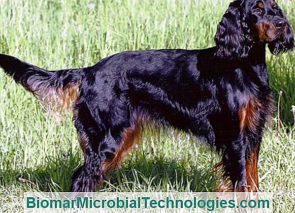 The Gordon Setter, A Physical And Enduring Dog