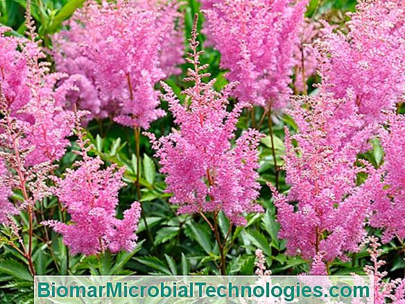 Astilbe (Astilbe), Feathery Flowers For Shaded Area