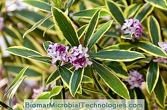 Daphne (Daphne), Shrub With An Exceptional Scent