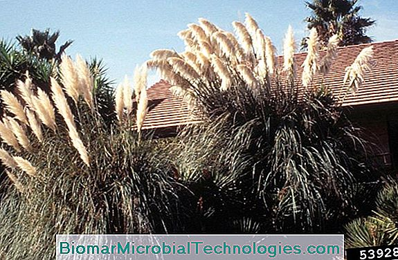 Pampas Grass (Cortaderia Selloana), Invasive Grass