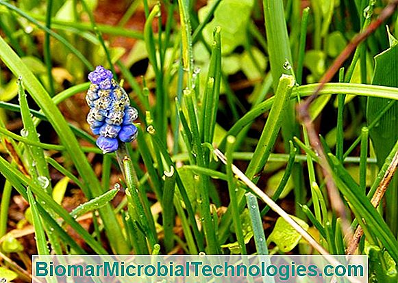 Muscari Or Bunched Hyacinth, Spring Cover