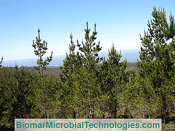 Pine (Pinus Spp), The Tree That Benefits From Global Warming