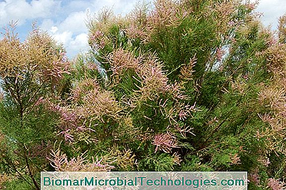 Tamaris (Tamarix), Shrub With Pink Tones And Light Port