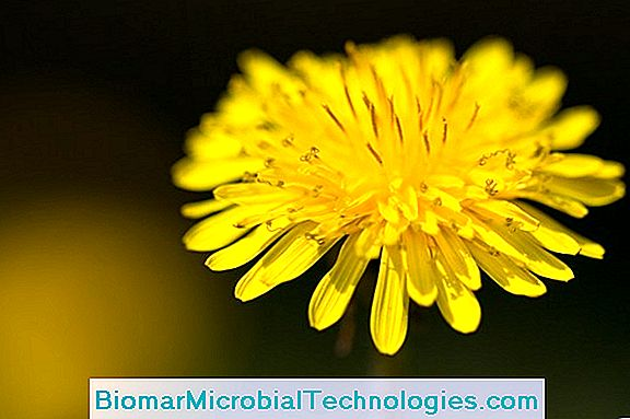 Dandelion: Benefits And Virtues