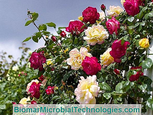 Las 10 Rosas Trepadoras Más Bonitas Y Las Lianas De Rosas