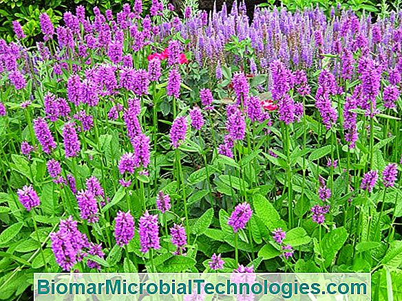 Betony Officinale (Stachys Officinalis) O Epicarpio Común