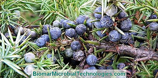 Juniper: Beneficios Y Virtudes