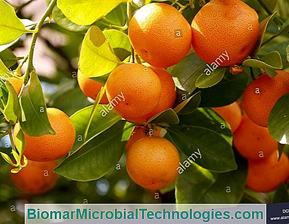 Calamondin (Citrus Madurensis), Appartementsinaasappel