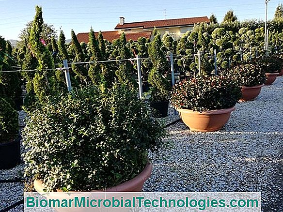 Dimensione Photinia: Quando E Come?