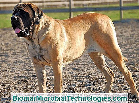 The Mastiff, Old English Mastiff O English Mastiff