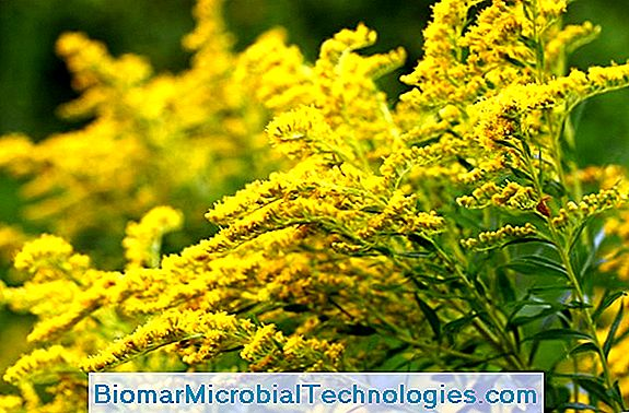 Goldenrod O Solidago: Benefici E Virtù