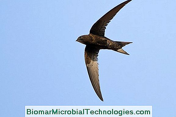 The Black Swift (Apus Apus), Da Non Confondere Con Swallow