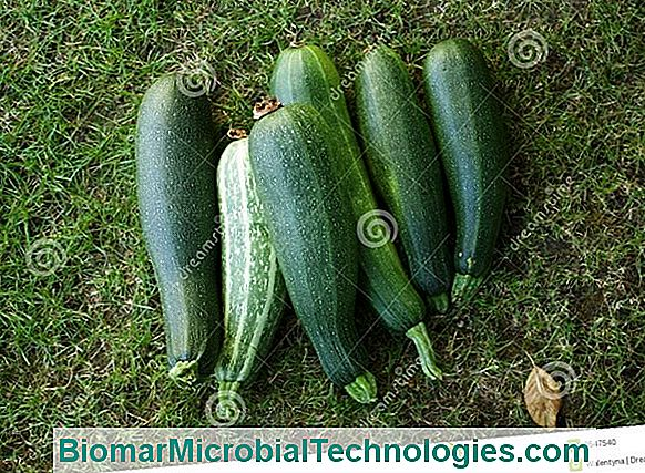 Cultiveer Courgette