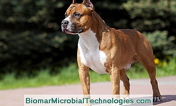 American Staffordshire Terrier Of Amstaff
