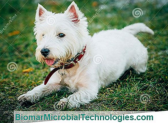 Westie Of West Highland White Terrier, Kleine Witte Hond