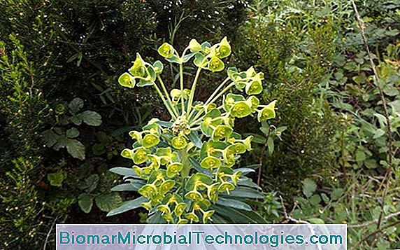 Euphorbia Of The Garrigues (Euphorbia Characias)