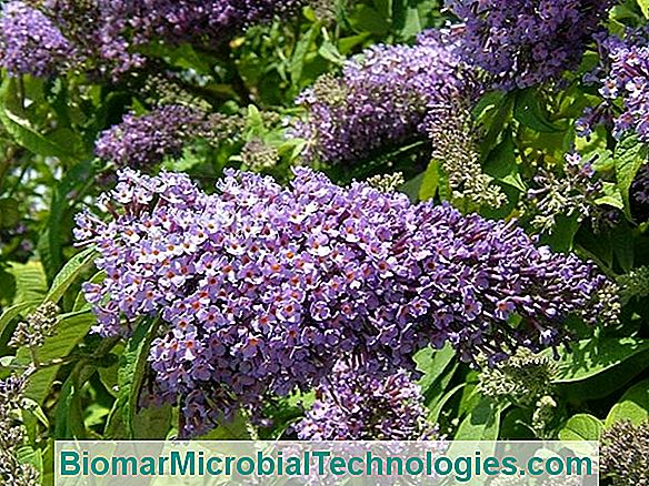 Buddleia: Arborele Fluture