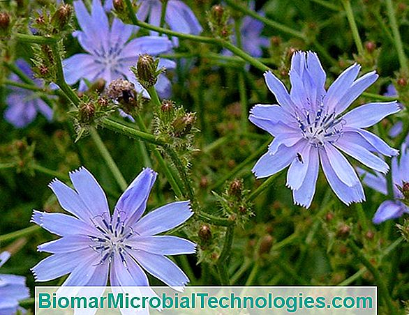 Cicoare Endovie (Cichorium Endivia