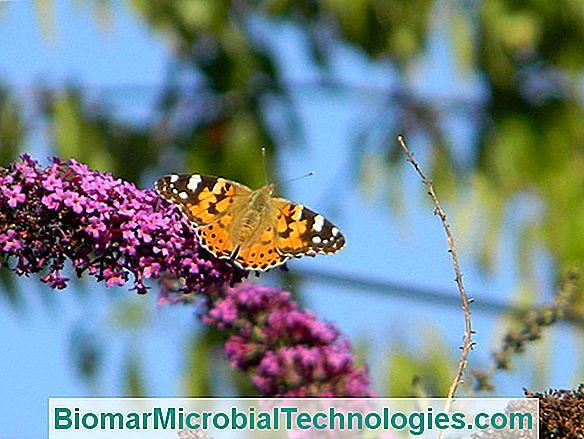 Fluture (Buddleia Spp.), Un Arbust Invaziv