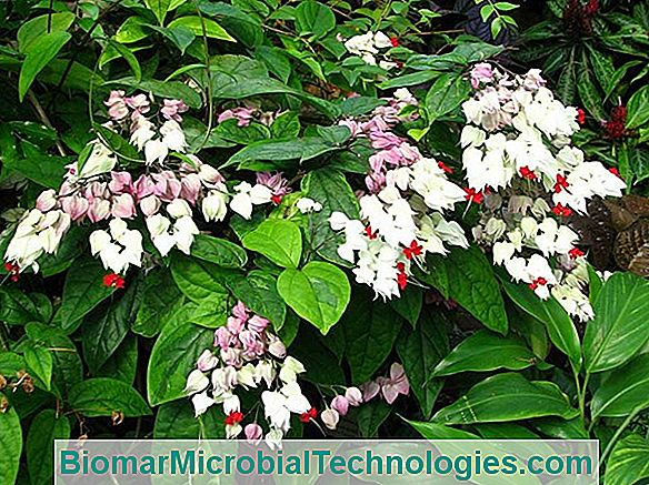 Clerodendron Din China (Clerodendrum Trichotomum), Copac Cler