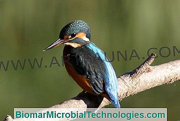 The Kingfisher (Alcedo Atthis), Un Pescar Remarcabil