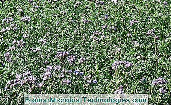 phacelia als groenbemester