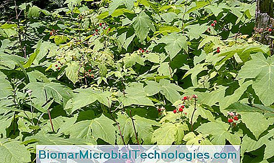 Size and maintenance of raspberries