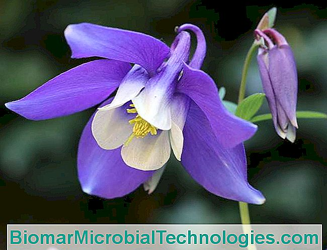 Columbine: Easy And Decorative Perennial