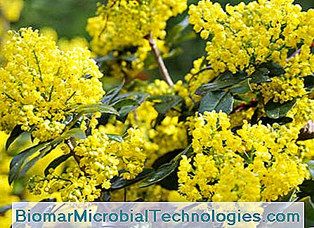 Mahonia: Winter Mooi
