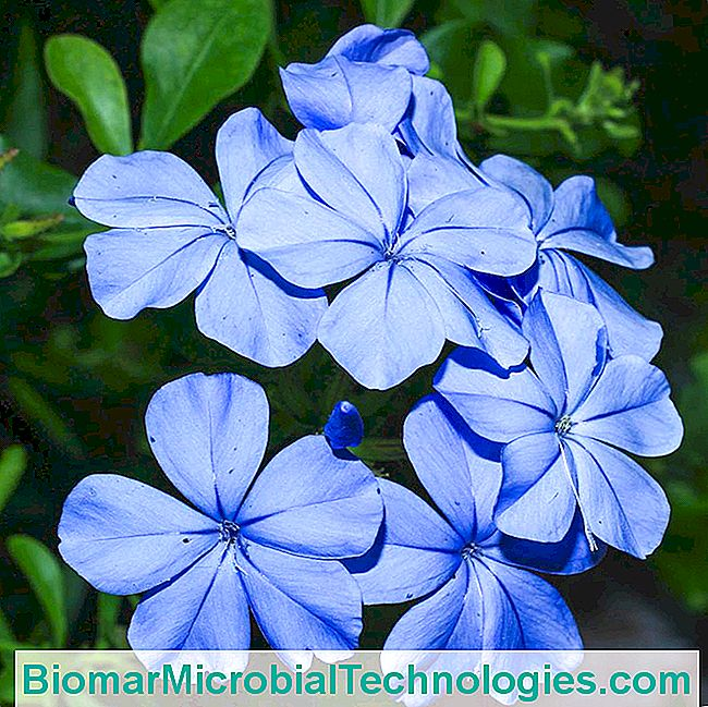Plumbago, Dente Del Mantello: Bella Arrampicata
