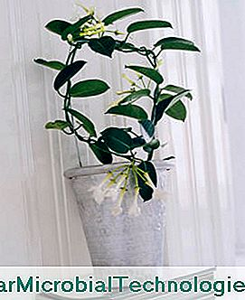 1391443704stephanotis