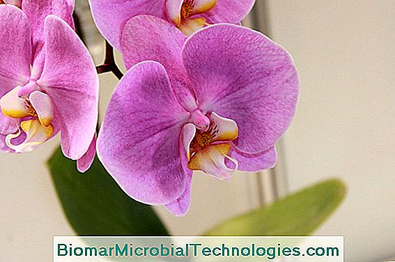 Phalaenopsis Orchid vagy Butterfly Orchid