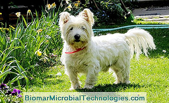 De West Highland Terrier