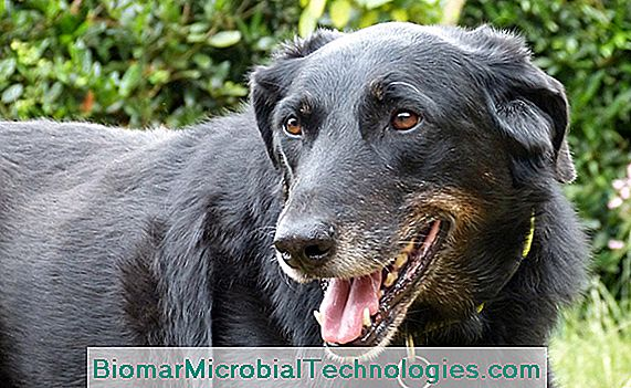 De Beauceron, Berger de Beauce, Franse herder of Bas-Rouge