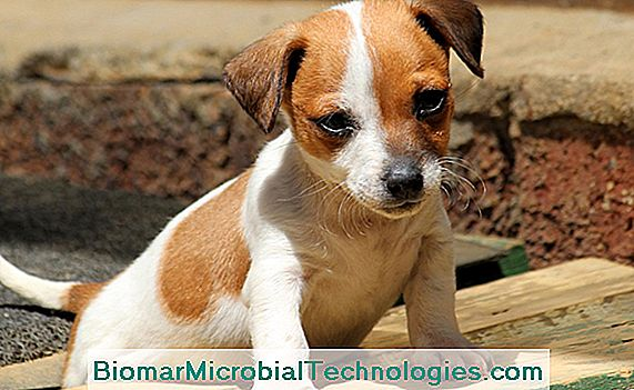 Jack Russell catelus terrier