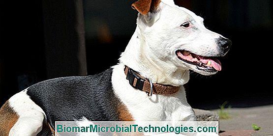 el jack russell terrier un perrito animado el sitio de la